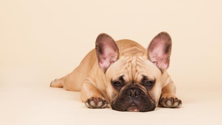 french bulldog lying down