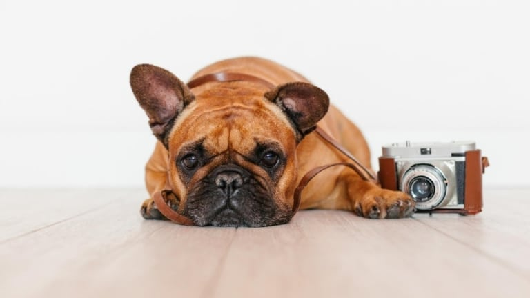 french bulldog lying next to a camera