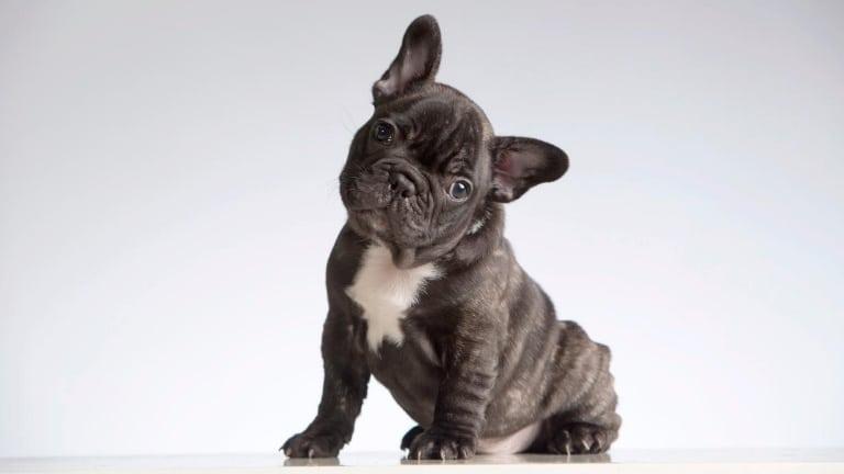 happy french bulldog puppy